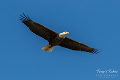 Bald Eagle flyby - 4 of 6