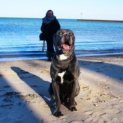 Someone is stealing my spotlight 🐕😂 #canecorso #bigdog #sunnyday #sonyalpha (ma4werner) Tags: canecorso bigdog sunnyday sonyalpha