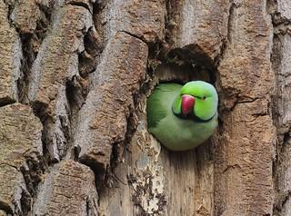 Halsbandsittich (Psittacula krameri), Parc de Woluwé, Bruxelles