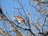 Purple Finch (Ben_The_Hen) Tags: bird birding illinois finch tree sky