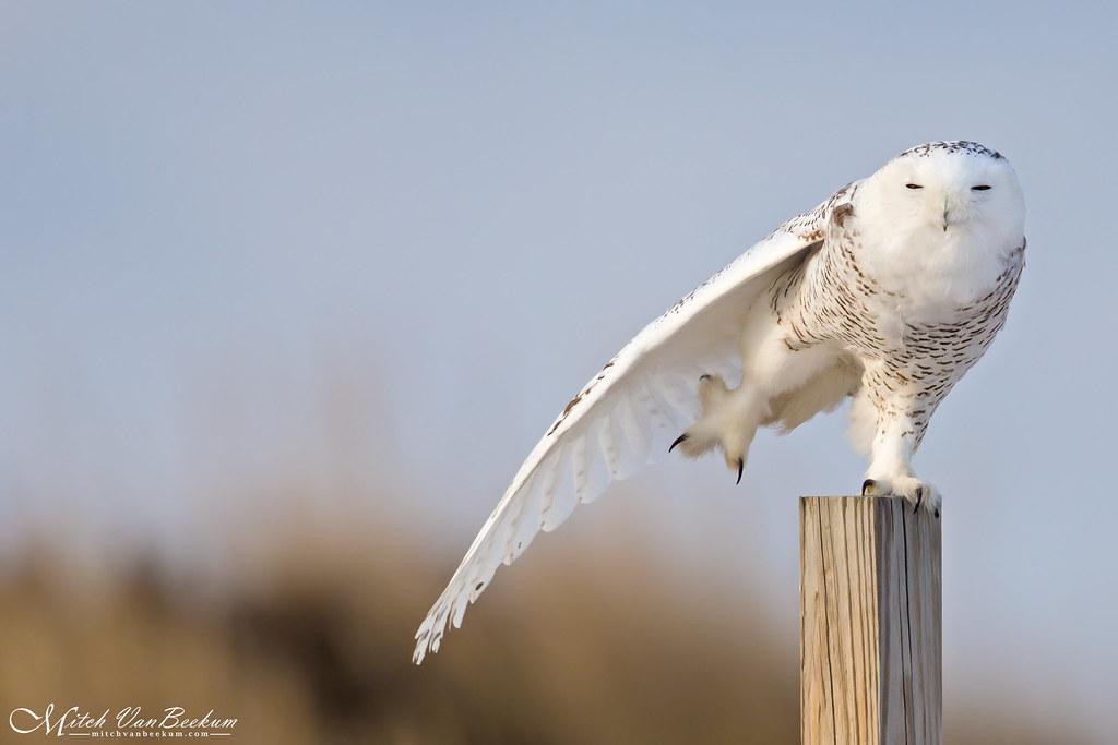 Balancing Act (Snowy Owl)