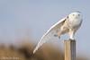 Balancing Act (Snowy Owl) (Mitch Vanbeekum Photography) Tags: snowyowl stretch wing nj newjersey canon14teleconvertermkiii canoneos1dx canonef500mmf4lisiiusm wildlife wild buboscandiacus mitchvanbeekum mitchvanbeekumcom bluesky owl snow snowy