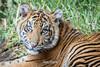Rakan (ToddLahman) Tags: rakan sumatrantiger canon7dmkii canon canon100400 closeup portrait mammal male tiger tigers tigertrail tigercub sandiegozoosafaripark safaripark escondido exhibita beautiful photooftheday profileheadshot