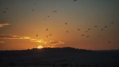 home to roost (HHH Honey) Tags: sonya7rii minolta minolta100200mm salisburyplain wiltshire sunset orange sky birds corvids clouds