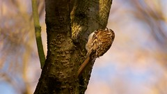 Treecreeper (Certhia familiaris) (jhureley1977) Tags: treecreeper certhiafamiliaris birds birding birdsofbritain britishbirds ashjhureley avibase naturesvoice bbcspringwatch rspbbirders ashutoshjhureley stockerslake rickmansworth rspb