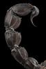 Androctonus gonneti Metasoma @1x (mygale.de) Tags: androctonus gonneti scorpion macro makro extreme extrem high resolution studio work preserved specimen mpe sony alpha 7rii stackshot godoxad200 skorpion morocco female metasoma sting aculeus
