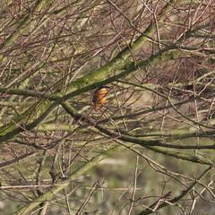RVW_3792 (Rogier van der Weiden) Tags: kingfisher alcedo atthis ijsvogel bird birds blue orange