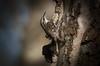 Treecreeper (Certhia familiaris) (The Rustic Frog) Tags: feather colour black brown creambuff white leg pink beak medium length curved thin natural habitats woodland farmland treecreeper wild bird tree creeper warwickshire wildlife trust uk england midlands central brandon marsh nature reserve canon