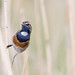 Cheeky Bluethroat (Luscinia svecica) Blauwborst (RonW's Nature Photography (thanks for over 1 milli) Tags: bluethroat lusciniasvecica luscinia svecica blauwborst bird birding birdwatching birdwatcher nature wildlife netherlands nederland europe canon 100400ii