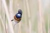 (Explore) Cheeky Bluethroat (Luscinia svecica) Blauwborst (Ron Winkler nature) Tags: bluethroat lusciniasvecica luscinia svecica blauwborst bird birding birdwatching birdwatcher nature wildlife netherlands nederland europe canon 100400ii explore explored