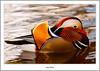 Mandarin Drake , River Leven , Balloch (flatfoot471) Tags: 2017 balloch bird duck mandarin march nature normal riverleven rural scotland spring unitedkingdom westdunbartonshire gbr