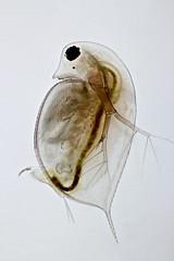 Daphnia (injured) (mr.sansibar) Tags: plankton zooplankton crustacea olympusbh2 focusstacking photomicrography microscopy heliconfocus polarizedlight waterflea cladocera daphnia