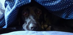 Keeping Warm (Pufalump) Tags: sunday labrador dog warm blue nose eyes black hiding peeping cosy