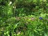 CKuchem-5956 (christine_kuchem) Tags: akelei bienenweide blüte blüten buchs farn garten hochbeet insekten maiglöckchen nahrung natur naturgarten nektar pflanze polsterpflox privatgarten schatten schattengarten selbstaussaat sommer trockenmauer vergissmeinnicht wildpflanze naturnah natürlich wild