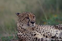 tense Cheetah after sunset (cirdantravels (Fons Buts)) Tags: acinonyxjubatus acinonyx cheetah carnivora felidae carnivore jachtluipaard gepard guépard natal coth5