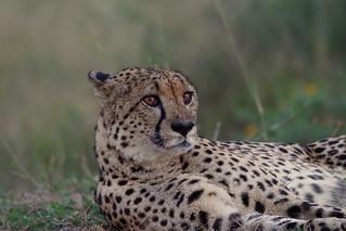 tense Cheetah after sunset