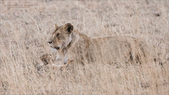 Mother Lion and Cub (Raymond J Barlow) Tags: africa tanzania wildlife lion family cub serengeti nature raymondbarlow phototours