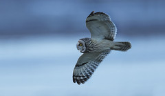 Short Eared Owl - Ice cold (Ann and Chris) Tags: avian bird close flying gorgeous gliding hunting cold outdoors owl shortearedowl raptor stunning unusual wildlife wild