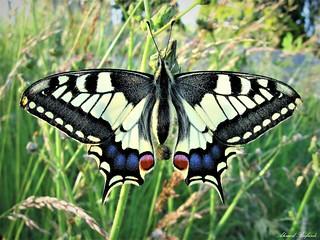 Butterffly 1616
