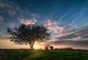 The Sunset Tree (Alex Savenok) Tags: sunset tree fields greenfields sunlight israel israelnature modiin barfilia clouds evening colorfulevening samyang14mm
