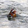 Mandarin Duck (Richard Bradshaw1) Tags: mandarinduck ngc npc