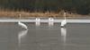 Elegant in winter weather (nikjanssen) Tags: zwanen swans winter ice