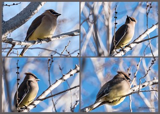 Cedar Waxing - Super excited to see this new bird on the block. 😊