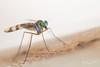Green Long-legged Fly (R. Francis) Tags: dolichopodidae greenlongleggedfly ebor eborfalls guyfawkesgorge guyfawkesnationalpark newsouthwales northernnsw midnorthcoast ryanfrancis ryanfrancisphotography