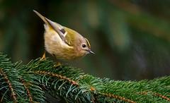Goldcrest (dangerousdavecarper) Tags: regulus goldcrest bird conifer