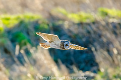 SEO in Flight (asio flammeus) (search instagram phat5toe) Tags: shortearedowl asioflammeus prey birds avian feathers wildlife nature luntmeadows nikon d7000 tamron150600mm