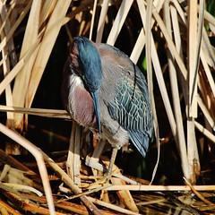 Rio Grande Birding Trip (greeneyesphotoart) Tags: cameron county heron green southpadreislandbirdingandnaturecenter cameroncounty