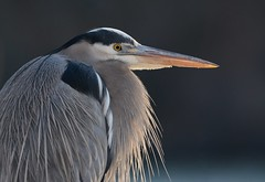 Great Blue Heron (JDA-Wildlife) Tags: birds nikon nikond7100 tamronsp150600mmf563divc jdawildlife johnny portrait closeup eyecontact heron herongreatblue greatblueheron whatbirdbestofday wow composition gorgeous brilliant