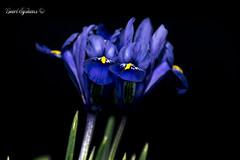 spring lily (Geert E) Tags: lowkey bloem lelie paars lily lis mauve purple flower fleur lilie bleu blue fleurdelis
