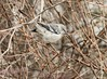 Mockingbird in the Scrub (swmartz) Tags: outdoors nikon nature newjersey wildlife mercercounty trentonmarsh trenton roeblingpark february 2018 birds