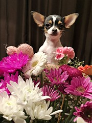 Flowers For You (Cindy's Here) Tags: flowersforyou mixedflowers flowers peanut chihuahua bouquet ansh challenge thatlovingfeeling takeaim explore