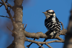 4517 (Eric Wengert Photography) Tags: downywoodpecker picoides picoidespubescens bird woodpecker