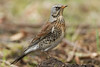 Fieldfare (Turdus pilaris) (Sandra Standbridge.) Tags: fieldfare bird animal turduspilaris wildandfree wild nature outdoor mound ground dirt wildlife grass fauna raindrops raining rain
