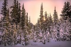 Sunburst (Margarita Genkova) Tags: light sun landscape nature winter snow pinetrees sunburst