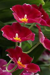 ruby trio.psd (sherri_lynn) Tags: red flowers orchids botanicalgarden gardens plants nature