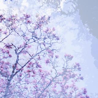 Kilmacurragh magnolia v.3 HTMT