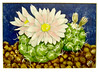 Turbinicarpus (M.P.N.texan) Tags: art botanical plant cactue turbinicarpus paint painted acrylic acrylics flower flowers flowering bloom blooms blooming handpainted original mpn