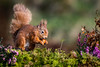 Red Squirrel (andy_harris62) Tags: redsquirrel mammal wildlife nature animal woodland scotland