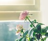 Pink roses (WillemijnB) Tags: roses rose pink roze window raam windowsill spring