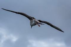 auf dem Darss, deutsche Ostsee (Stefan Giese) Tags: nikon d750 70300mm afp70300mmf4556 dars darss deutscheostsee ostsee vogel bird animal wildlife tier tiere möwe