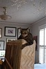 Cricket on the box springs (rootcrop54) Tags: cricket tabby male cat boxsprings lounging tiger striped snowflakes neko macska kedi 猫 kočka kissa γάτα köttur kucing gatto 고양이 kaķis katė katt katze katzen kot кошка mačka gatos maček kitteh chat ネコ