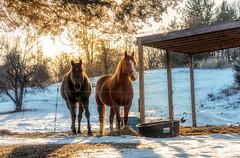 Enjoying The Sun (Roy Manchester) Tags: blue 5dsr catskillnewyork availablelight 7020028lisii ef70200f28isiiusm eos ef animals hudsonvalley horses sun llenses light snow