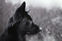 portrait of Draka (kahora777) Tags: dogphotography dog animals animalsphotography pet petphotography portrait outdor blackdog germanshepherds grouptripod