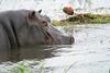 DSC_9800 (H Sinica) Tags: 贊比亞 zambia zimbabwe 津巴布韋 zambeziriver 贊比西河 河馬 hippopotamus africanjacana actophilornisafricanus 长脚雉鸻 非洲雉鸻