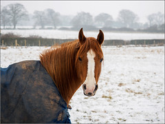 Why am I out in this? (Phil McIver) Tags: loughborough horse snow leicestershire