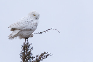 Snowy Owl light as feather
